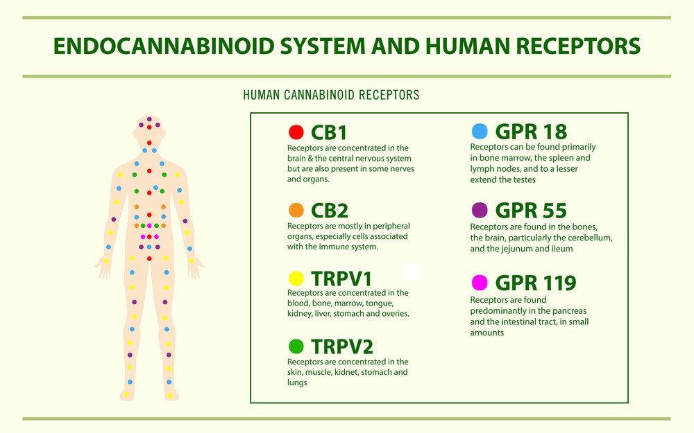 Human Endocannabinoid System - Endocannabinoid System horizontal infographic illustration about cannabis as herbal alternative medicine and chemical therapy, healthcare and medical science