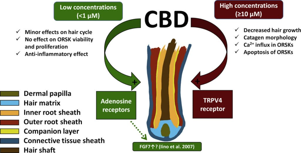 A very interesting and complex dose-dependent relationship exists between CBD and hair growth